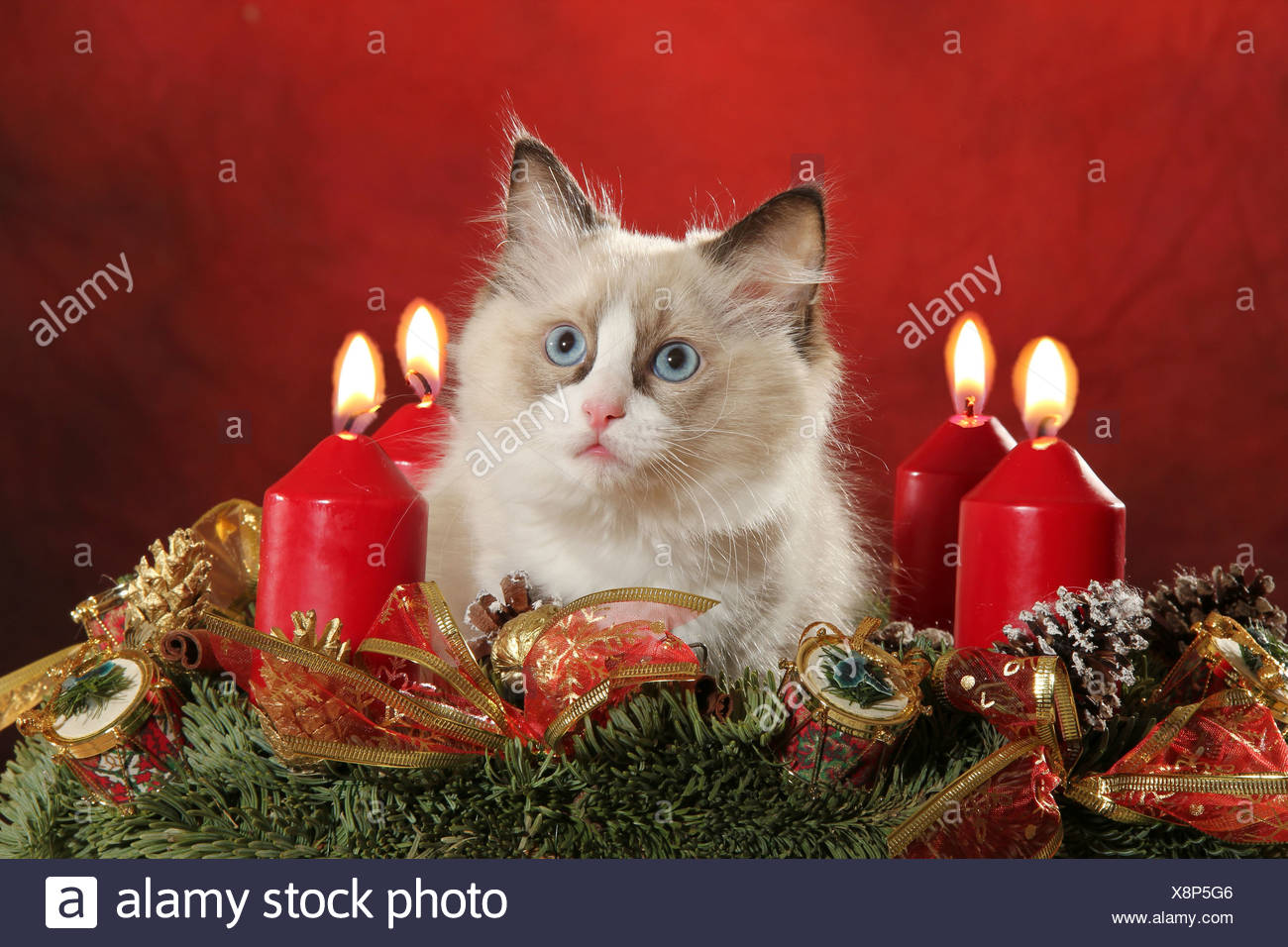 Ragdoll cat - kitten in Advent wreath - Stock Image