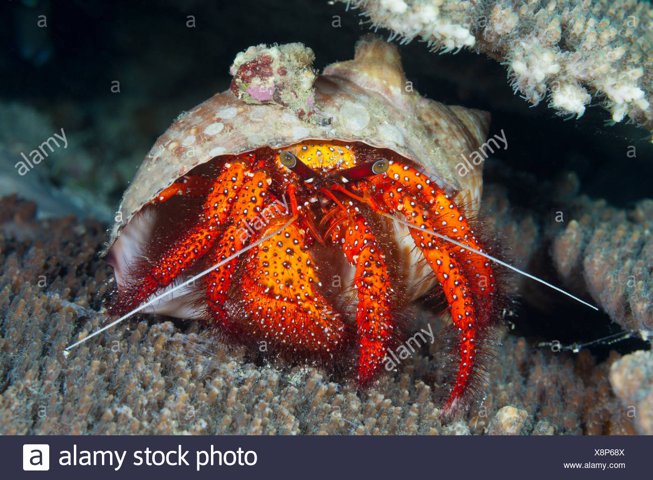 Red hermit crab, Dardanus megistos, ambon, the Moluccas, Indonesia - Stock Image