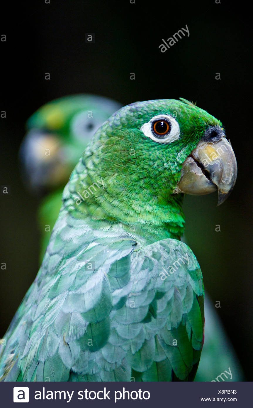 A pair of Chapman's Mealy Amazon Parrots with their hooked beaks and green plumage. Stock Photo