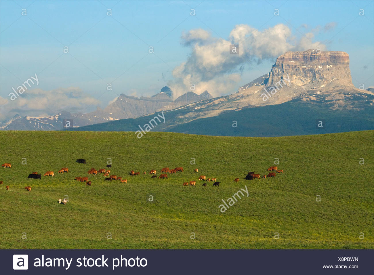 Mixed breed cows and calves grazing on a green foothill pasture with the Canadian Rockies in the background / Alberta, Canada. - Stock Image