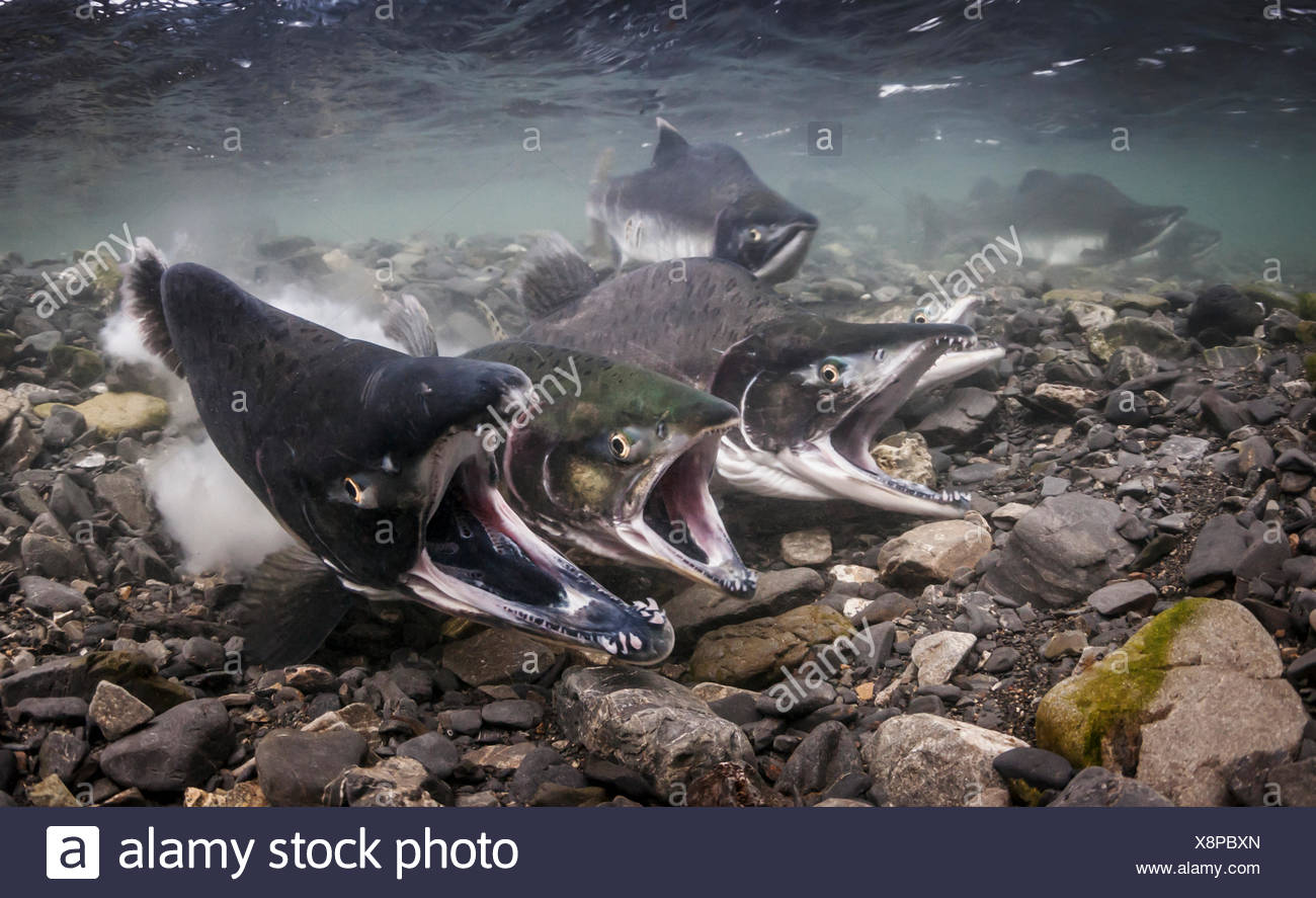 Pink Salmon (Oncorhynchus gorbuscha) spawning in an intertidal stream that is a tributary of Prince William Sound, Southcentral Alaska - Stock Image
