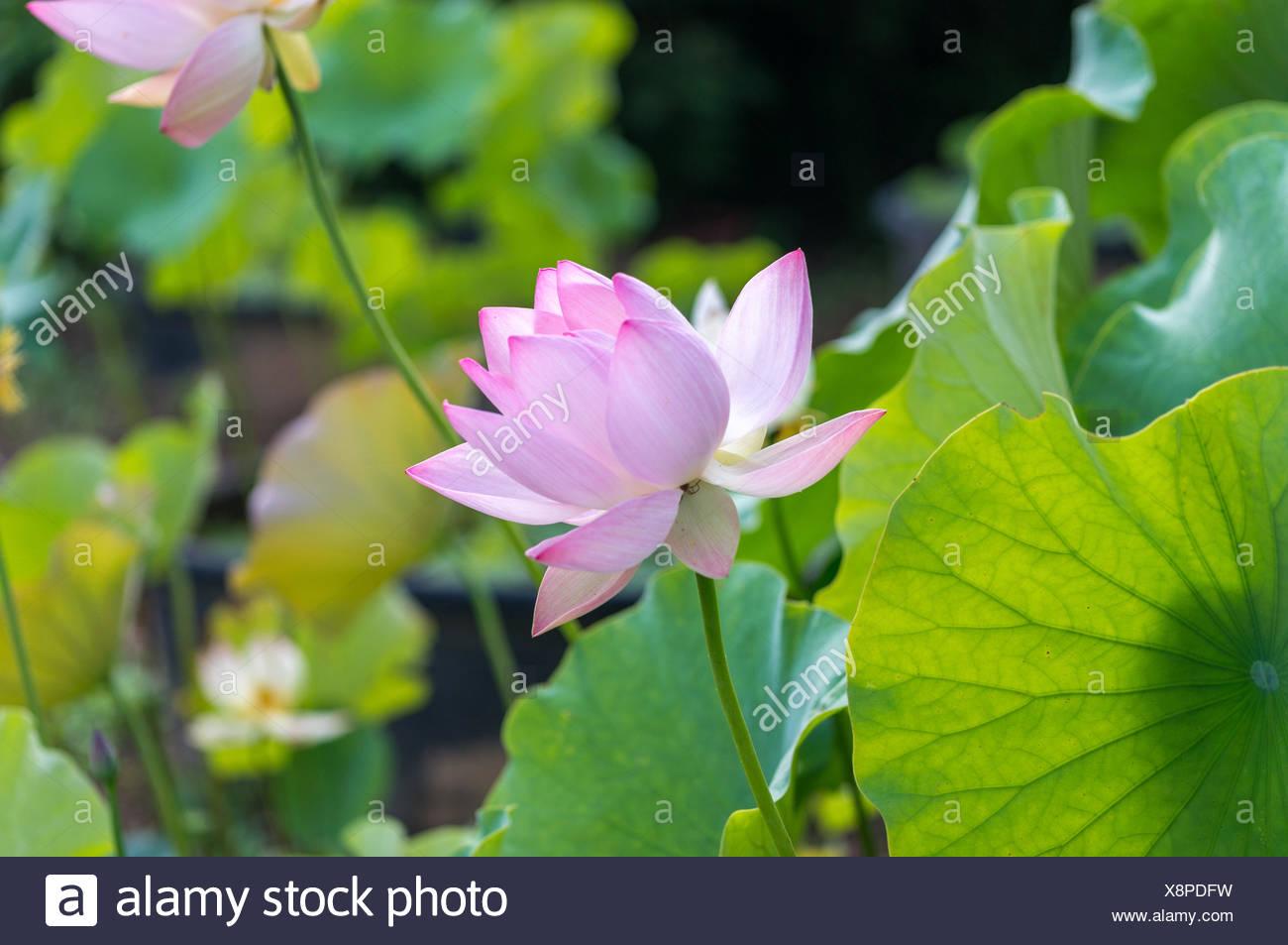Lotus Flower Is Beautiful Stock Photos Lotus Flower Is Beautiful