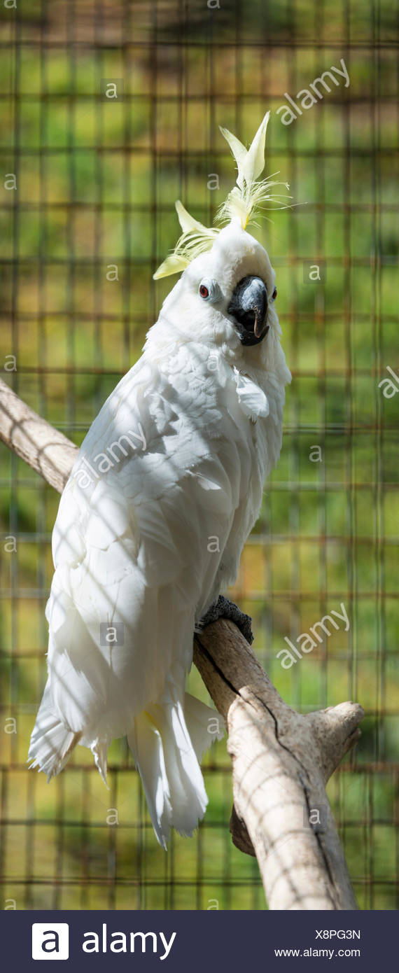 Sulphur-crested Cockatoo (Cacatua galerita), in a cage, captive - Stock Image