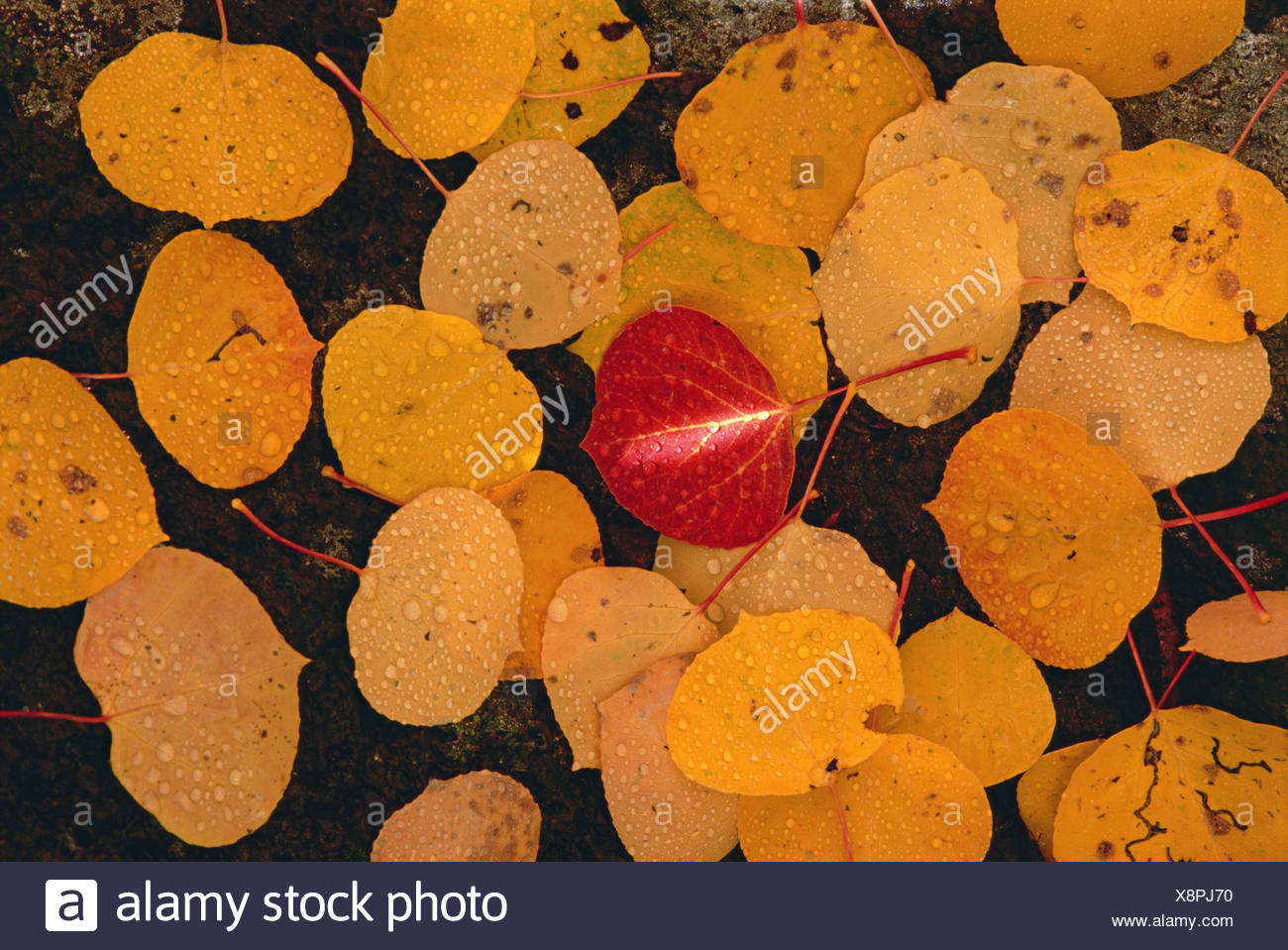 Autumnal aspen leaves. Brown leaves spread out on black rock, with one vivid red leaf in the centre. - Stock Image