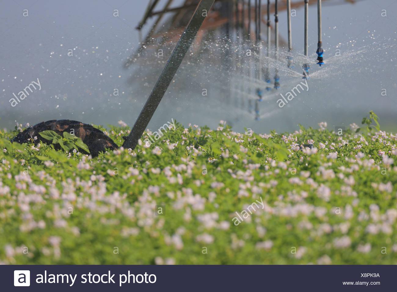 Irrigation Sprinkler System In Field, Croatia, Slavonia, Europe - Stock Image