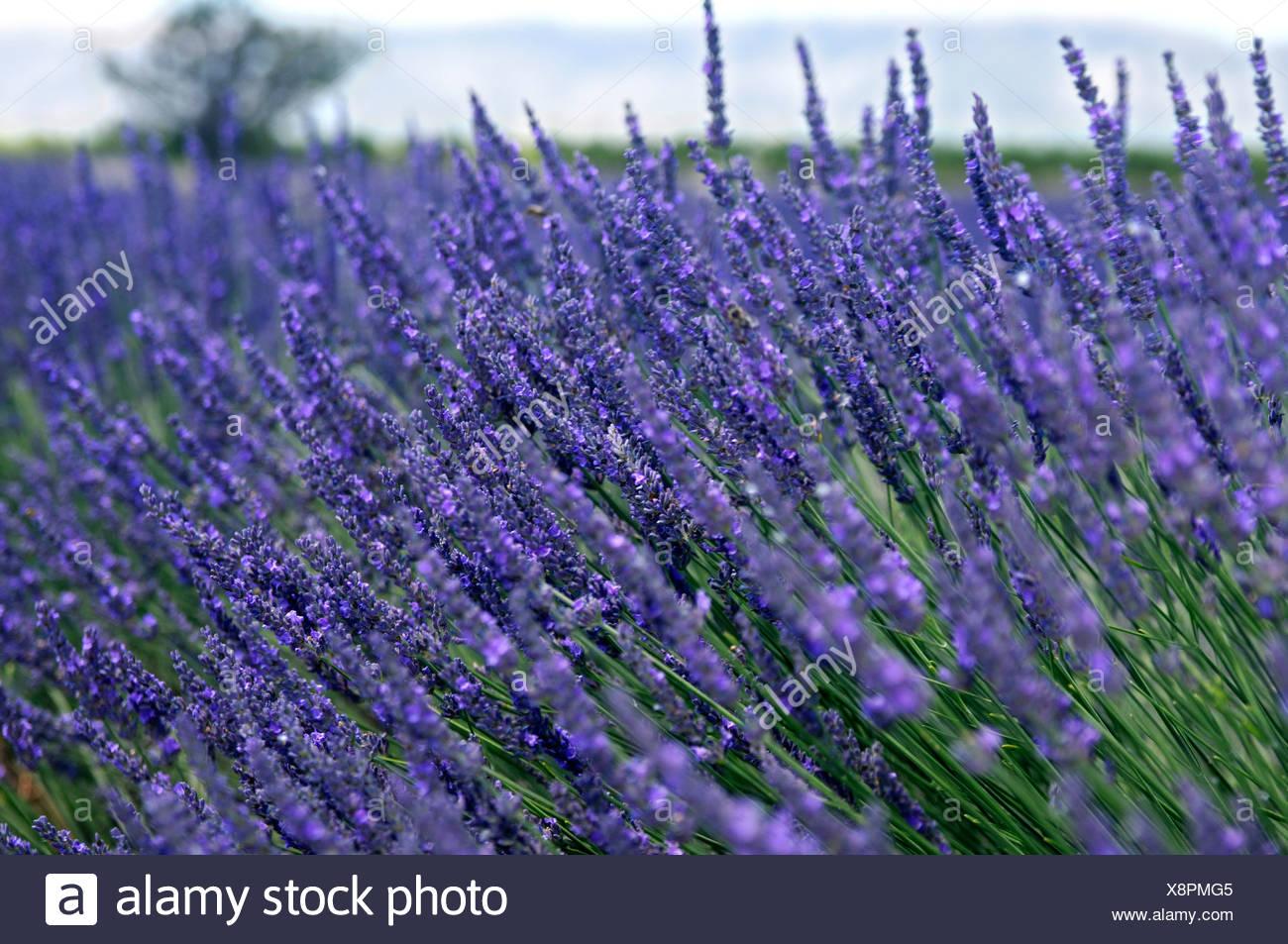 Lavender field, Plateau de Valensole, Provence, France, Europe - Stock Image