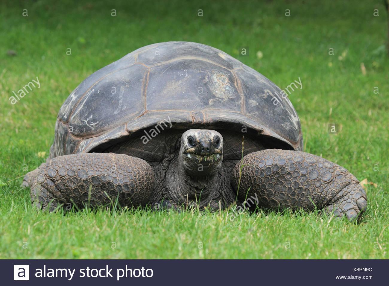 The Seychelles gigantic tortoise, - Stock Image