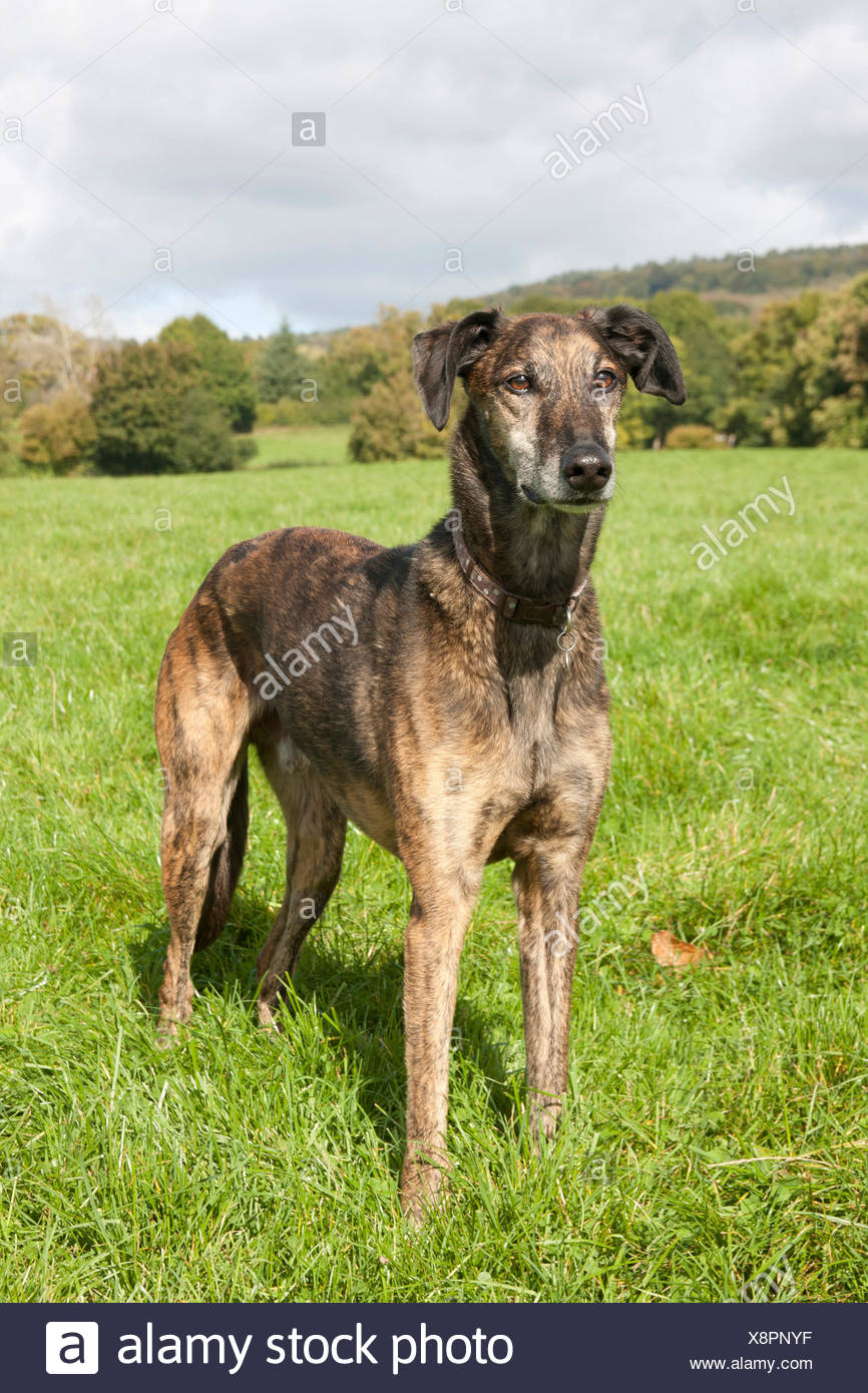 lurcher, brindle dog mature adult, standing in field, Surrey, England - Stock Image