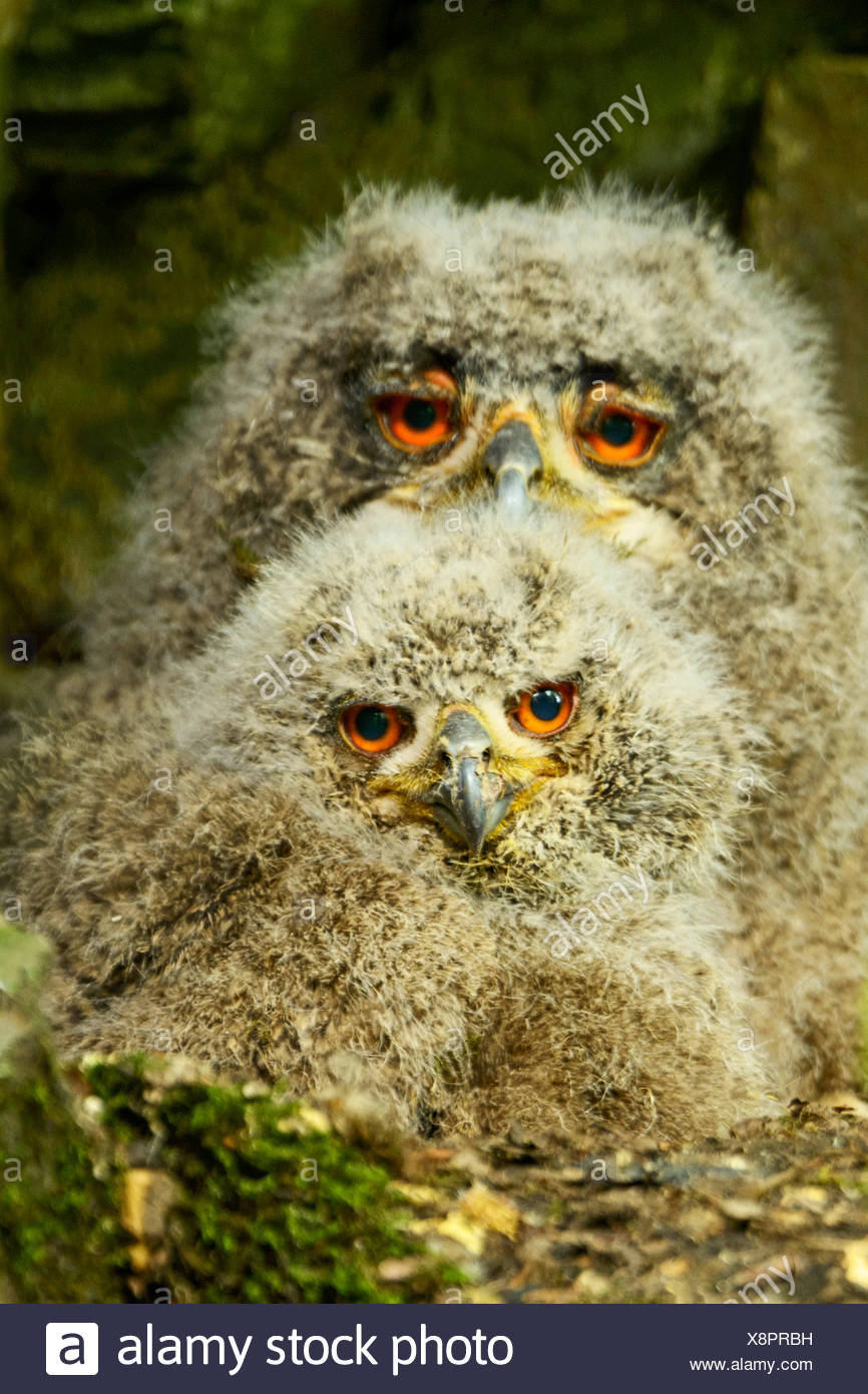 northern eagle owl (Bubo bubo), two young northern eagle ows in the nest, Germany - Stock Image