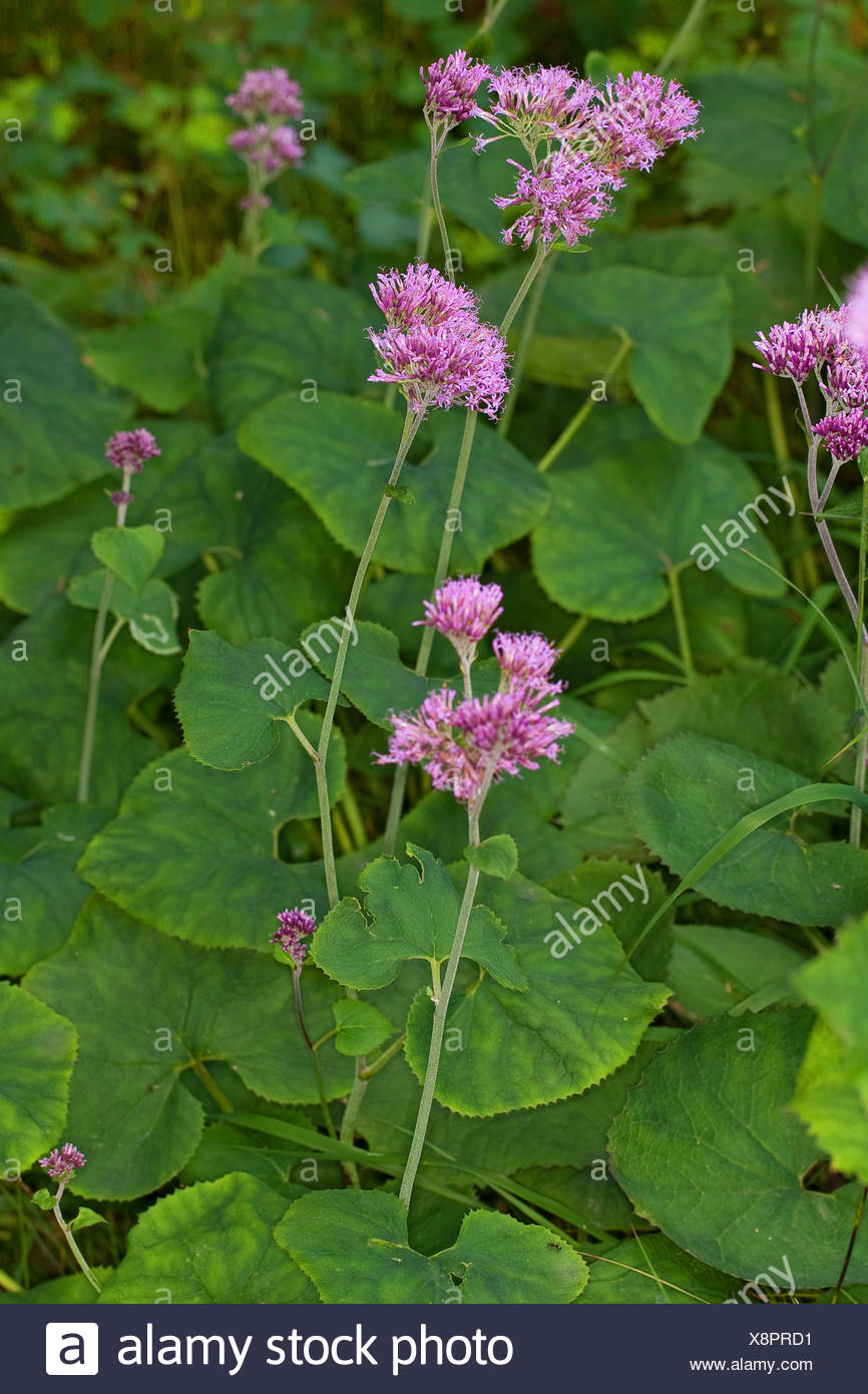 Common adenostyles (Adenostyles glabra, Cacalia glabra), blooming, Germany - Stock Image