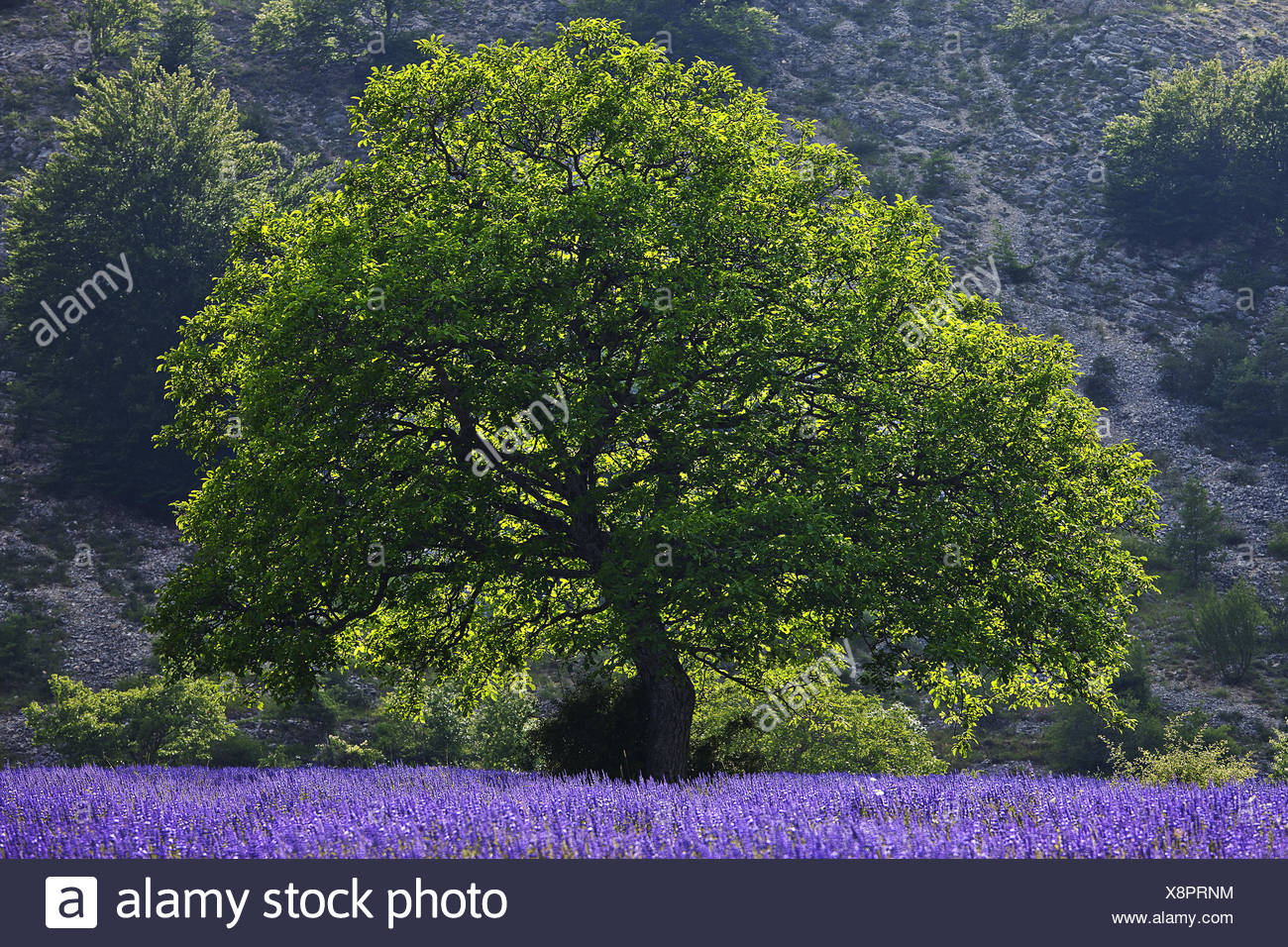 tree and lavender field, Provence, France - Stock Image