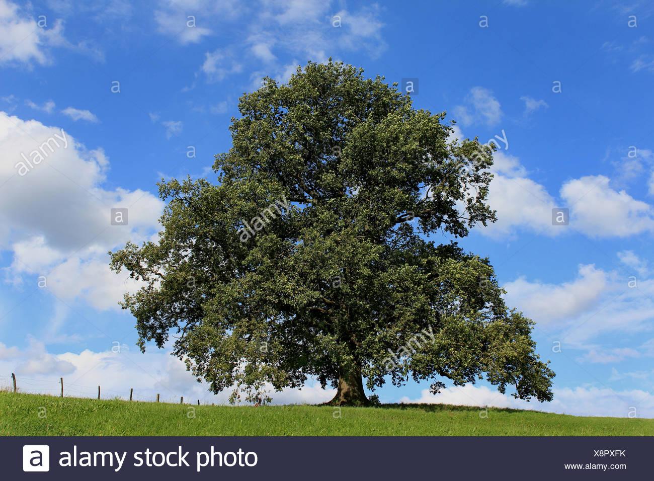 aprox. 300 years old oak tree in midsummer at arnsberg-wennigloh, hochsauerlandkreis, nrw, germany / etwa 300 jahre alte eiche im hochsommer bei arnsb Stock Photo