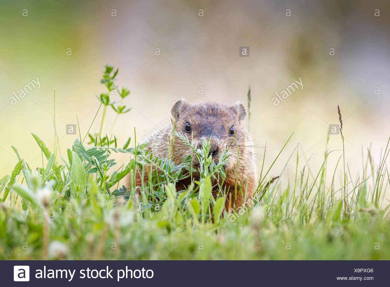 Woodchuck, also called groundhog (Marmota monax) in Forillon National Park, Quebec, Canada - Stock Image