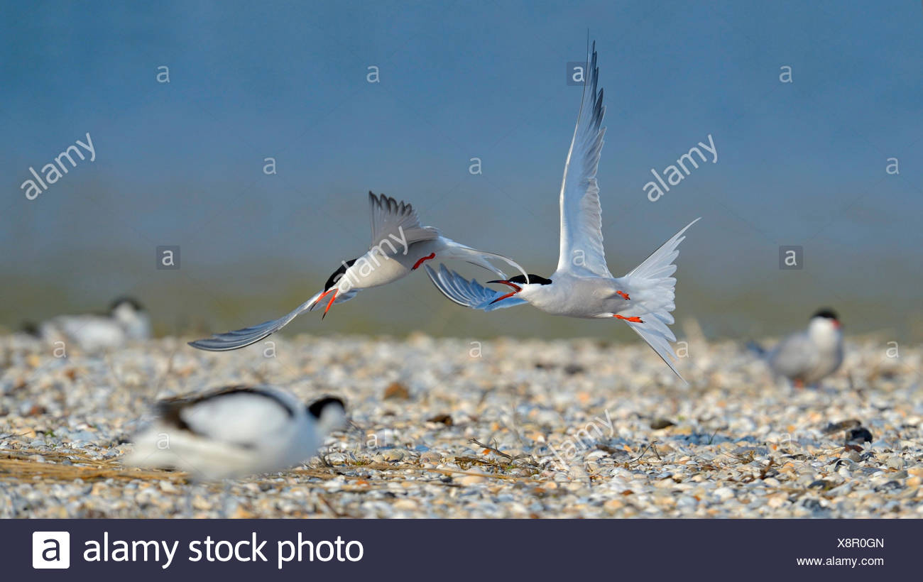 Common tern (Sterna hirundo), terns quarreling for a nesting place on a bed of mussels, Netherlands - Stock Image