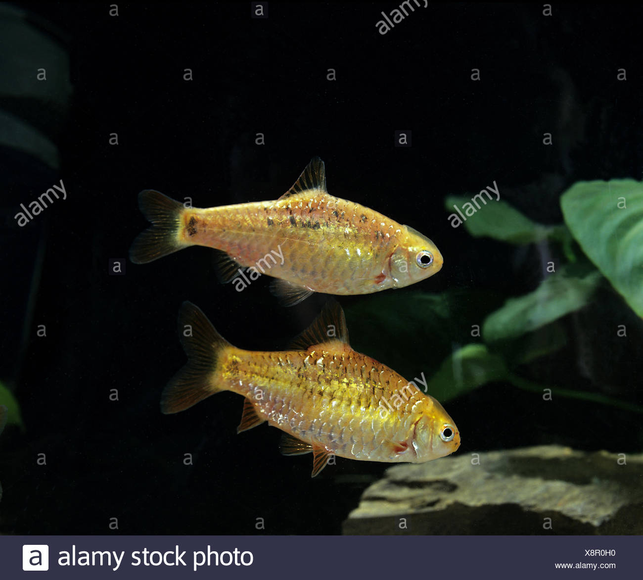 Golden Barb or Chinese Barb,  puntius semifasciolatus Stock Photo