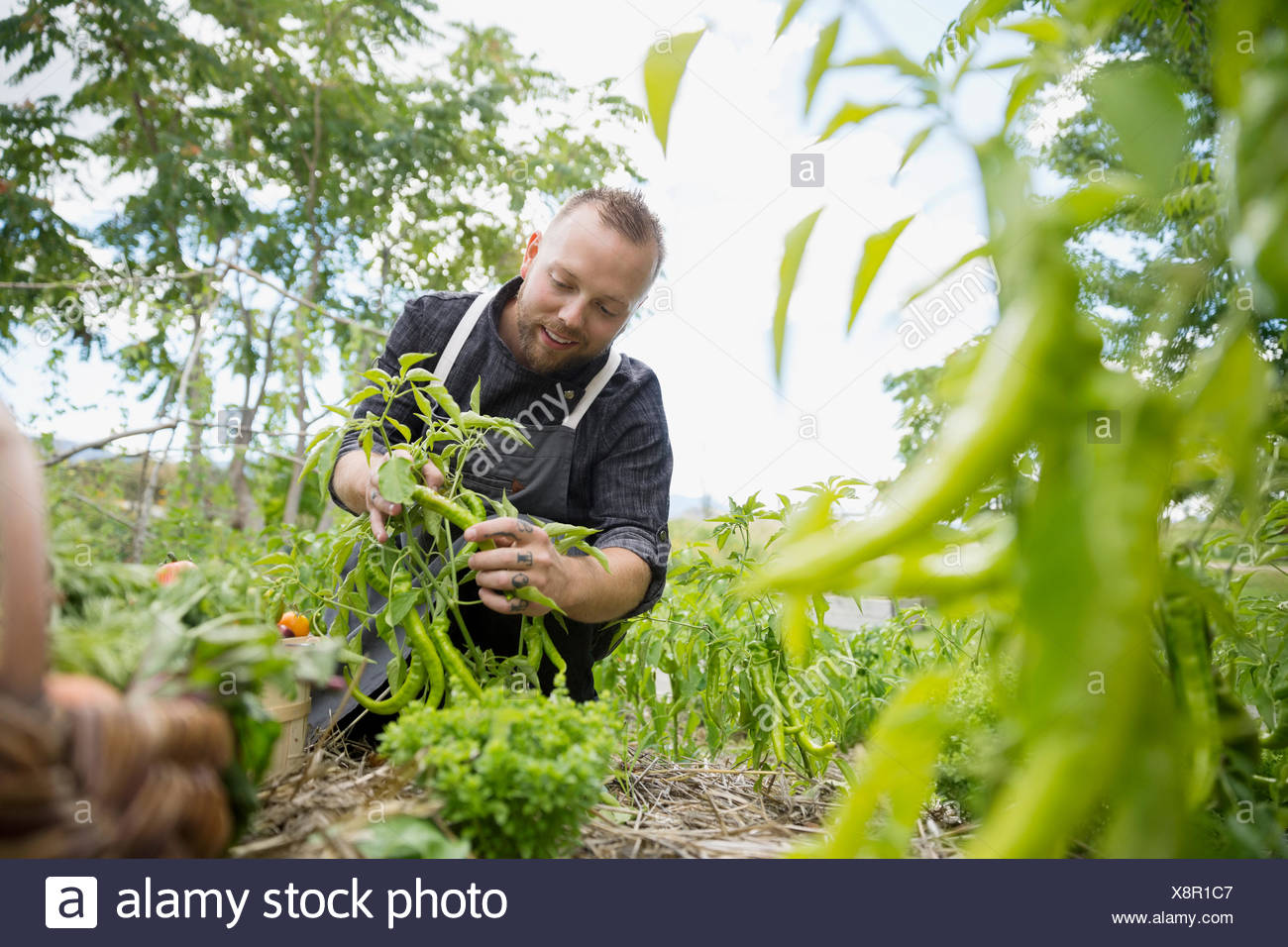 Farm-to-table chef harvesting green peans in vegetable garden - Stock Image