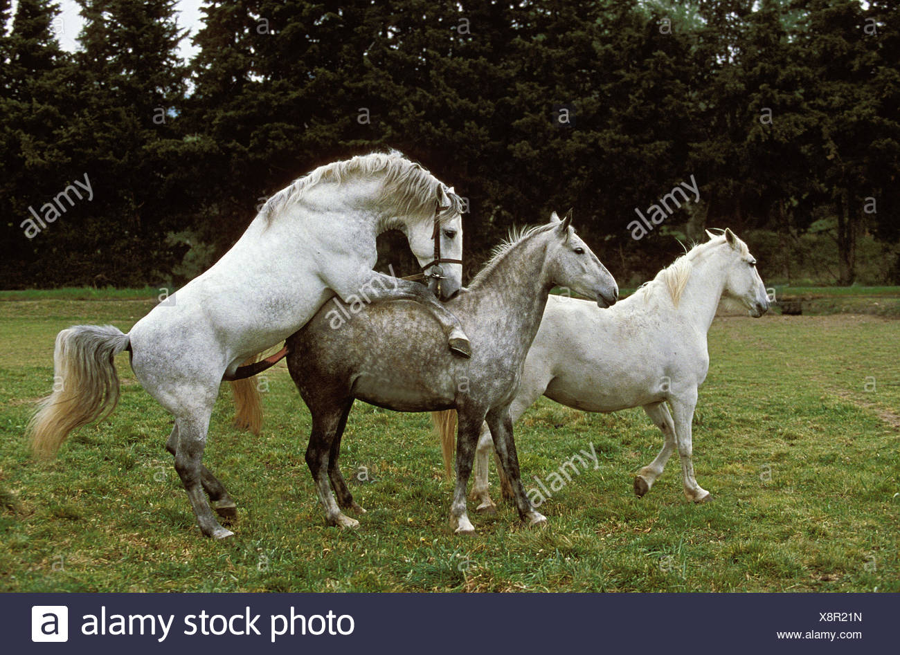 Of Lipizzaner horses,stallion and mare,mating Stock Photo