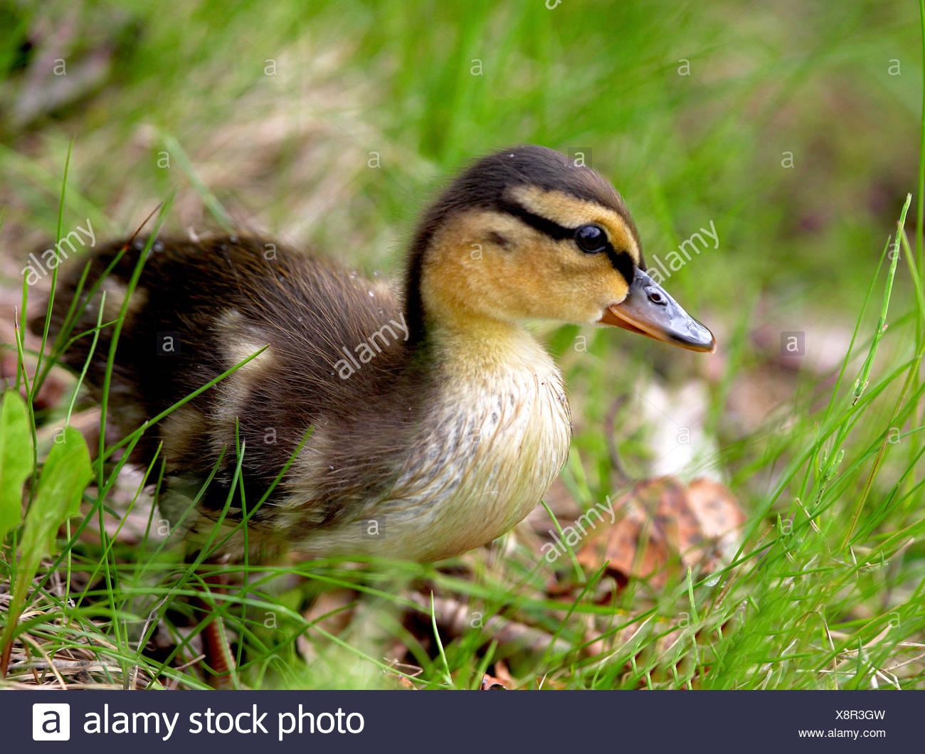 Alaska. Mallard (Anas platyrhynchos) duckling hunting for bugs in the grass around an Anchorage lake. - Stock Image