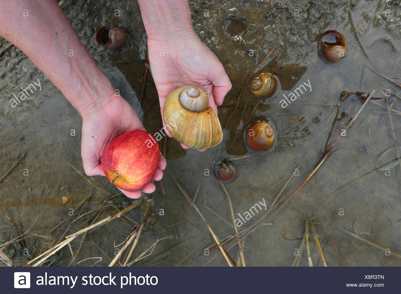 A comparison between an apple snail, Pomacea paludosa, and an apple. - Stock Image