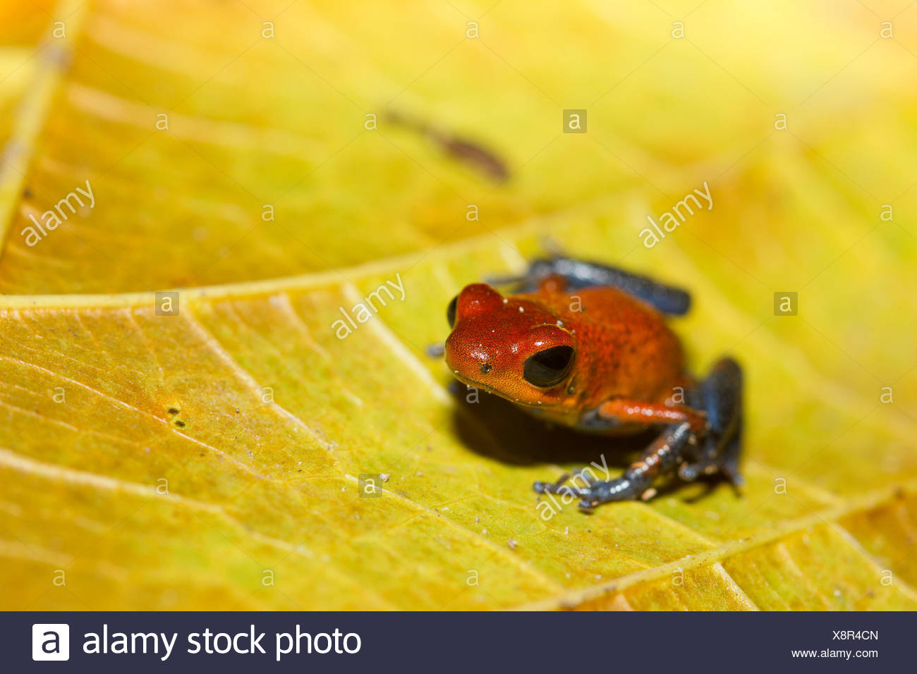 Strawberry poison dart frog, Oophaga pumilio, Costa Rica, Central America, - Stock Image
