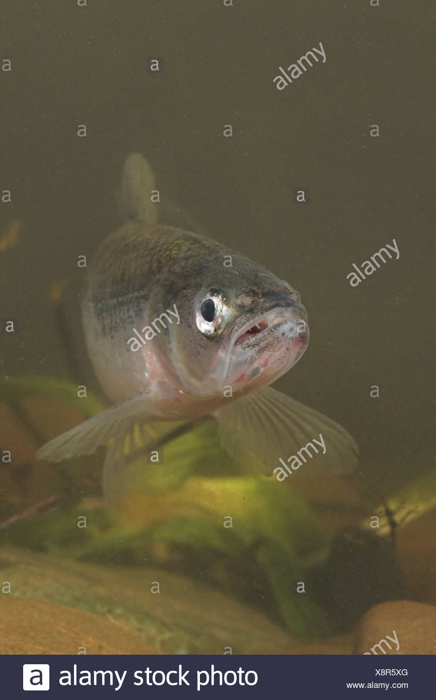 vertical photo of an European smelt with its mouth open so its teeth are visible Stock Photo