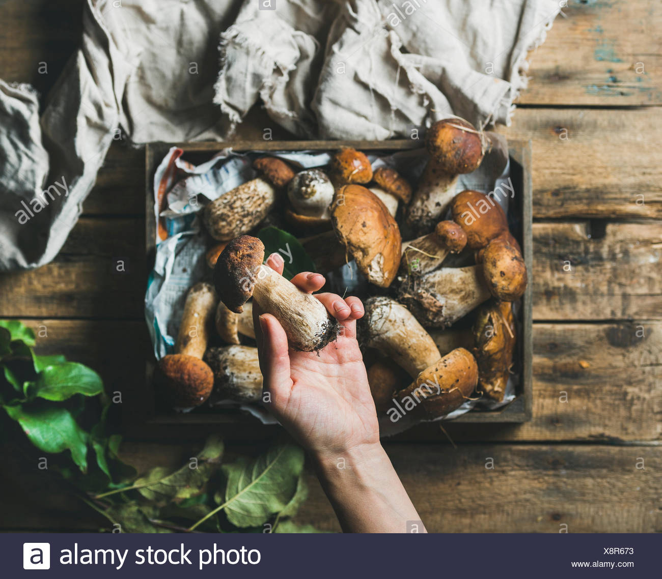 Fresh picked Porcini mushrooms in wooden tray over rustic background and woman's hand holding one penny ben, top view - Stock Image