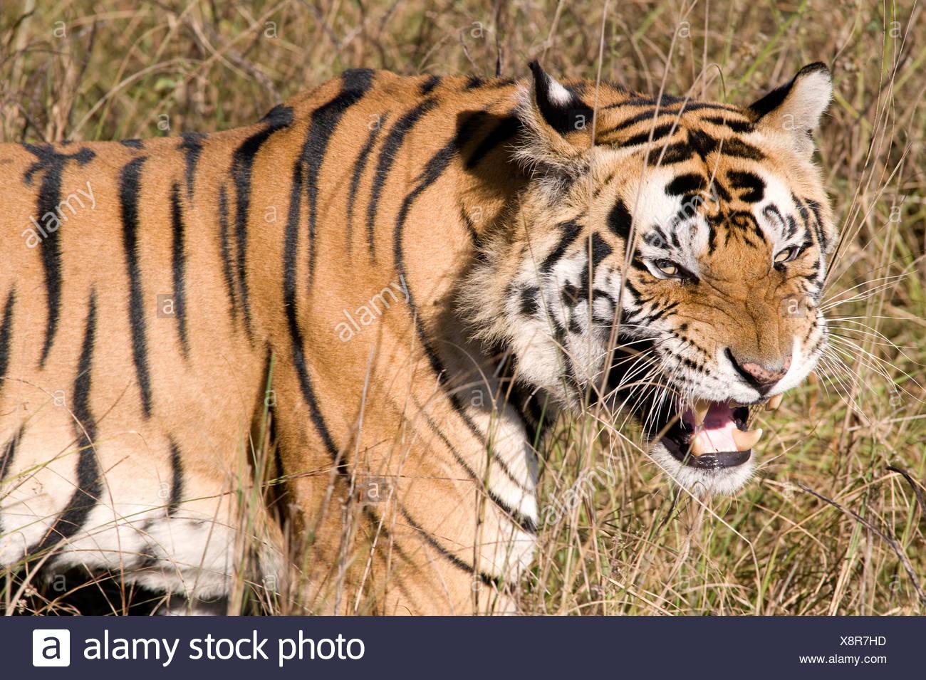 Bengal Tiger Panthera tigris tigris India - Stock Image