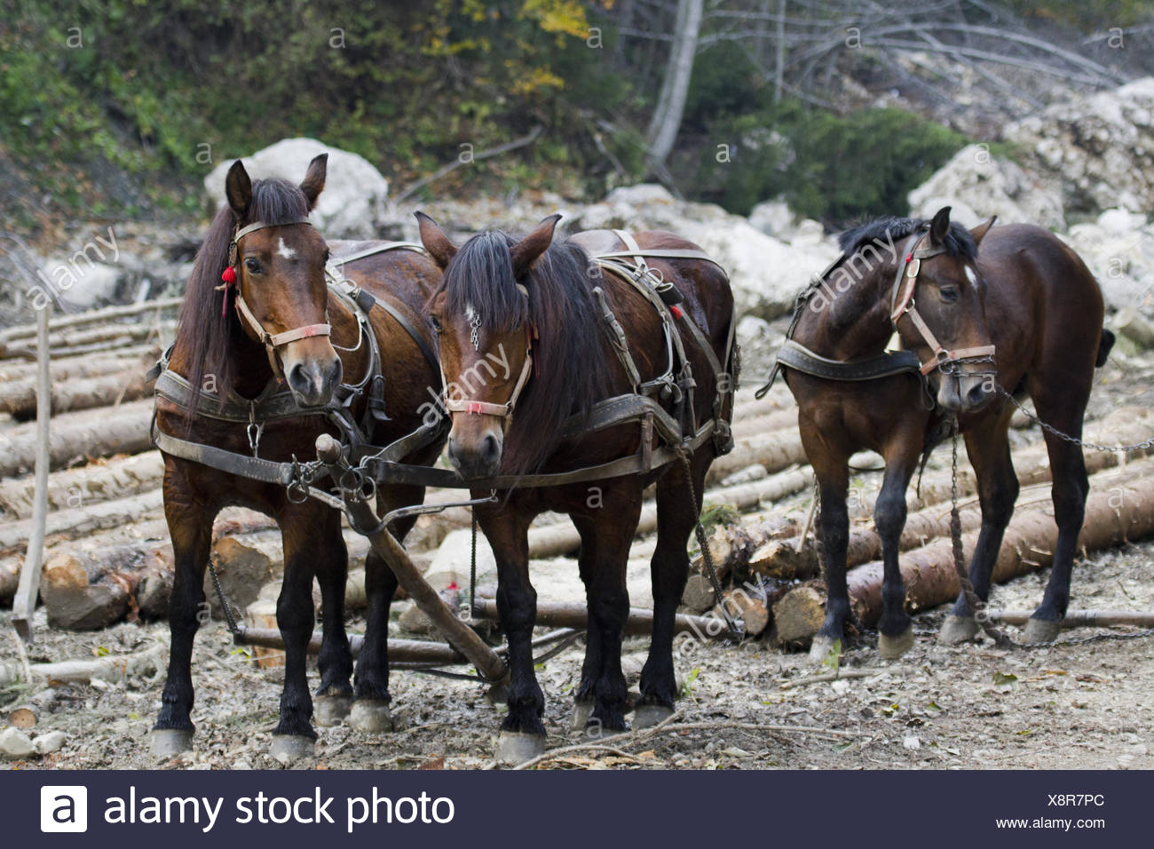 workhorse - Stock Image