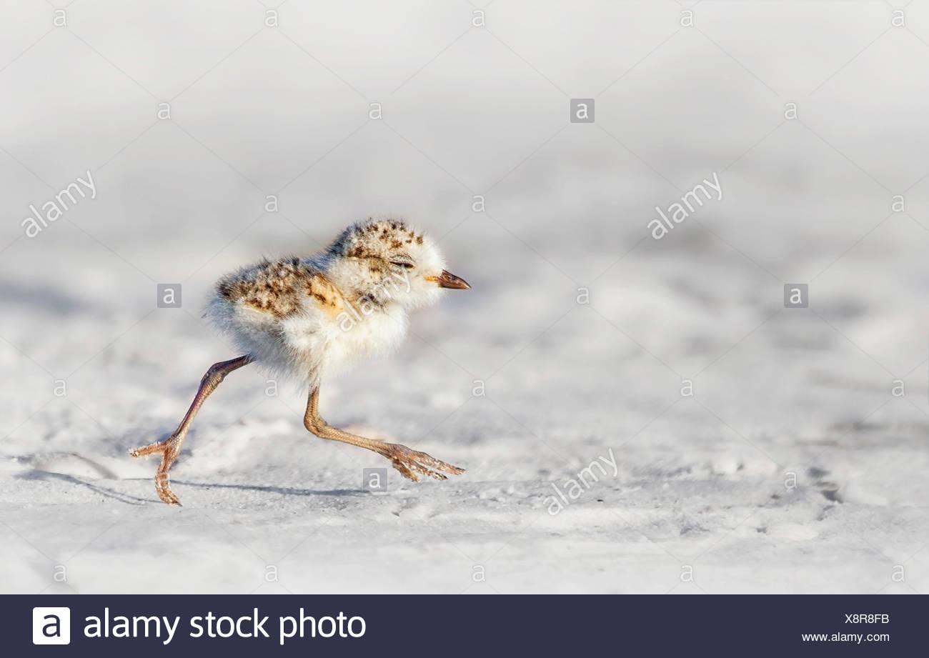 Snowy Plover (Charadrius nivosus) chick, Florida, America, USA - Stock Image