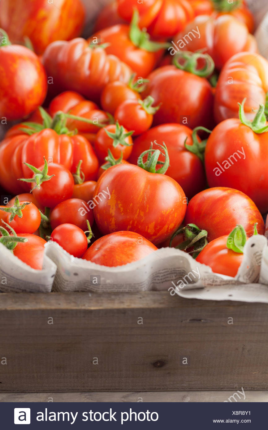 Homegrown Tomatoes in Wooden Trug - Stock Image