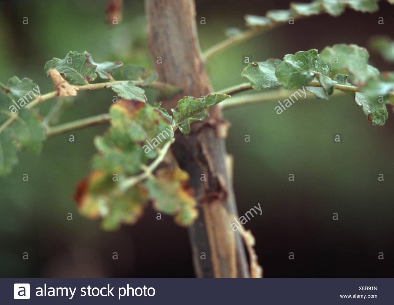 frankincense (Boswellia sacra, Boswellia carteri, Boswellia undulato-crenata), leaves and sprout - Stock Image