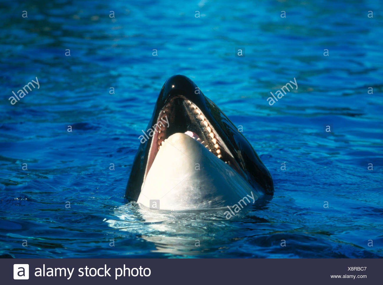 Orca Orcinus orca Schwertwal Saeugetiere mammals animals Wale ...