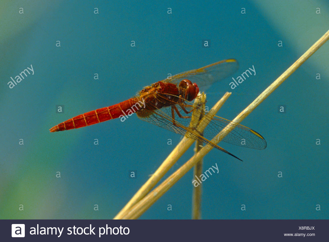 Broad Scarlet, Common Scarlet-darter, Scarlet Darter, Scarlet Dragonfly (Crocothemis erythraea, Croccothemis erythraea), male, Germany Stock Photo