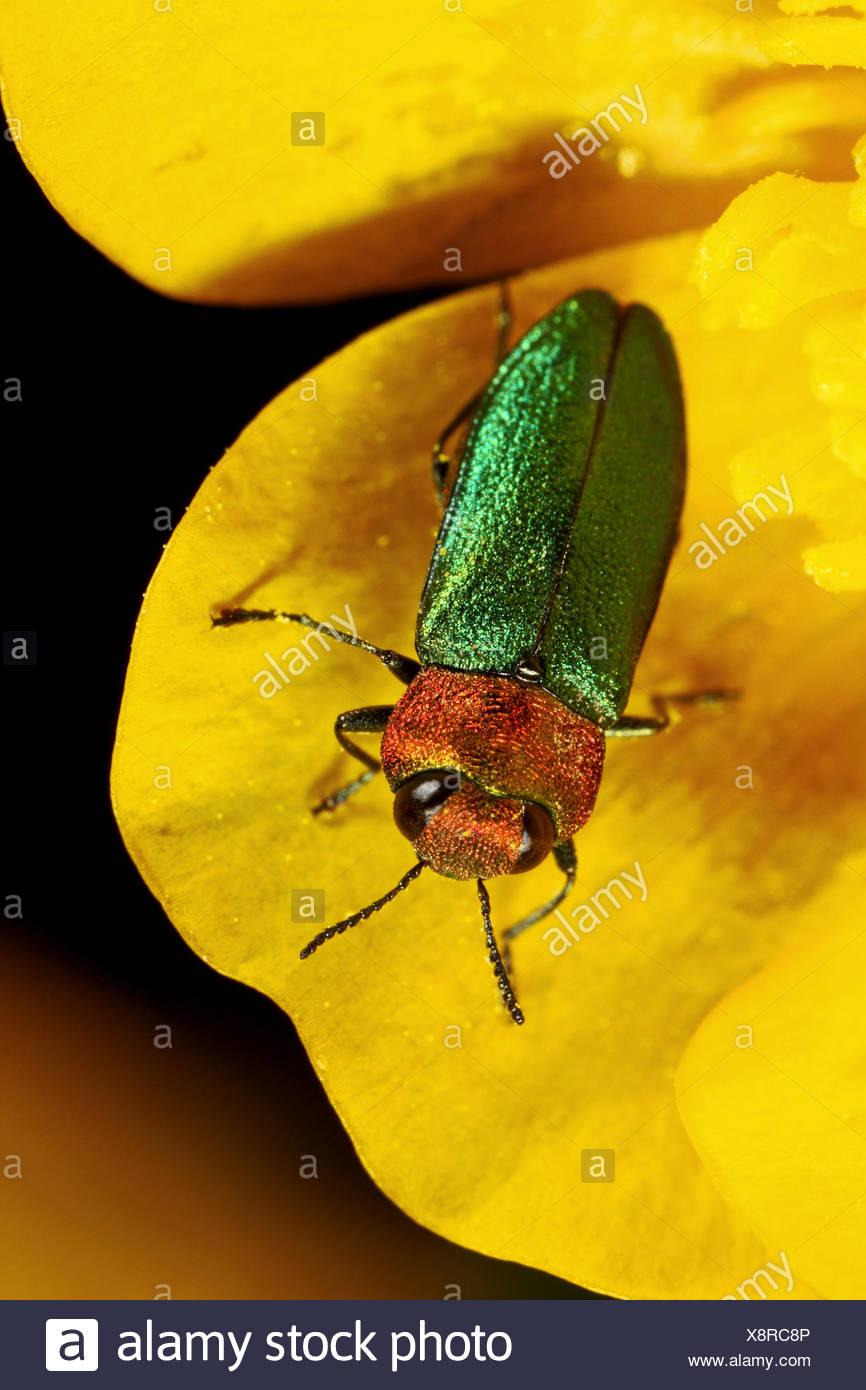 Jewel beetle, Metallic wood-boring beetle (Anthaxia nitidula), female on a flower, Germany - Stock Image