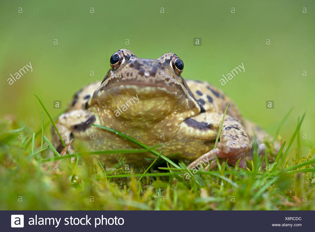 photo of a common frog in green grass with a blurred green foreground and background - Stock Image