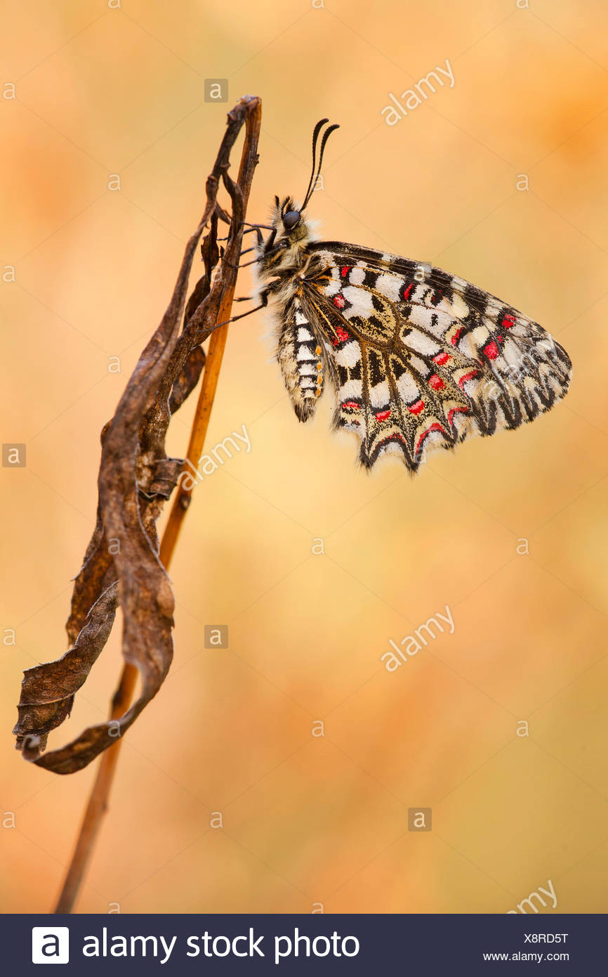 Spanish Festoon, Southern festoon (Zerynthia rumina), at withered plant - Stock Image