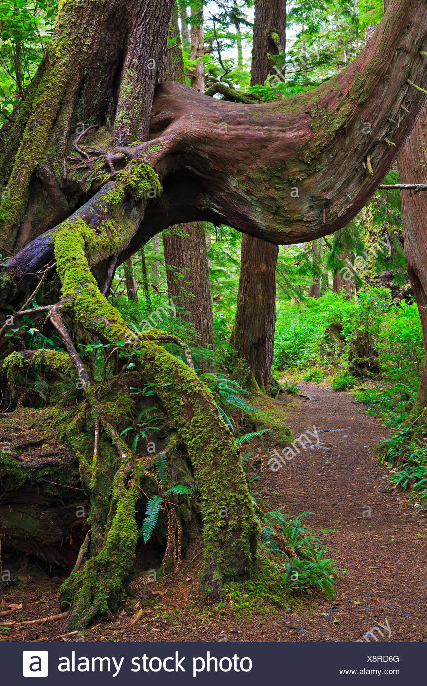Moss covered tree root along trail San Josef Bay in Cape Scott Provincial Park Northern Vancouver Island Vancouver Island - Stock Image