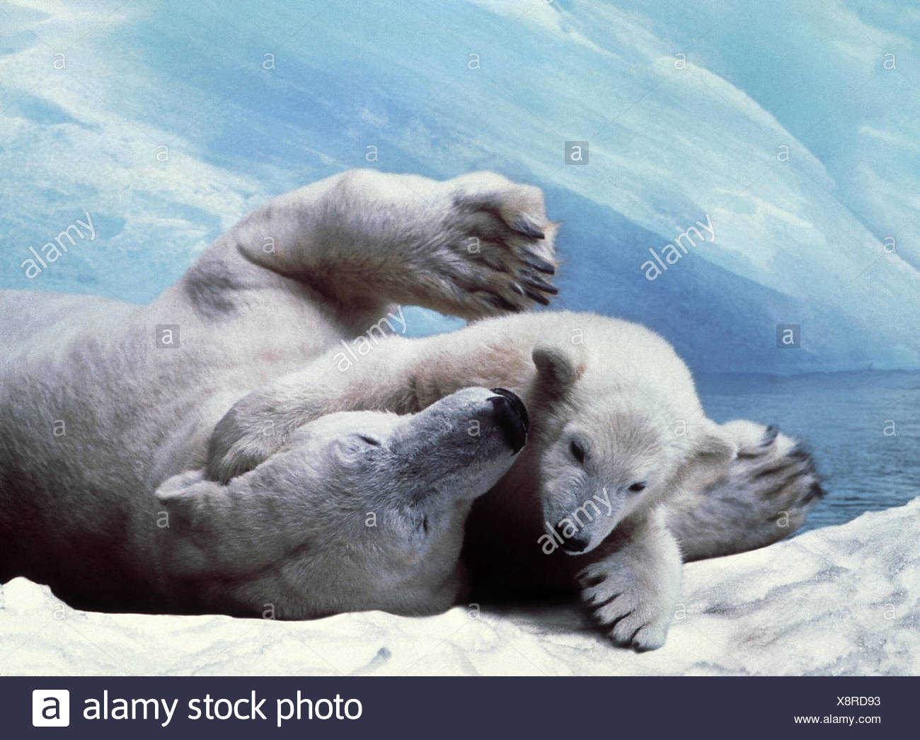 Polar bears, Thalarctos maritimus, young animal polar bear, land predator, polar bear, bear, romp, water, ice cream - Stock Image