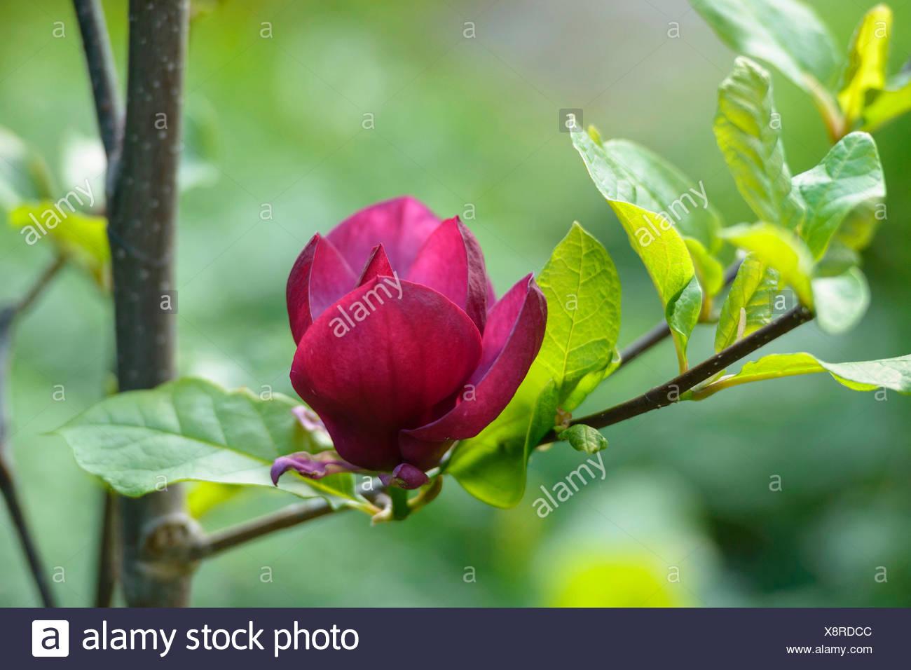 saucer magnolia (Magnolia soulangiana 'Genie', Magnolia soulangiana Genie, Magnolia x soulangiana, Magnolia x soulangeana, Magnolia soulangeana), cultivar Genie, Germany - Stock Image