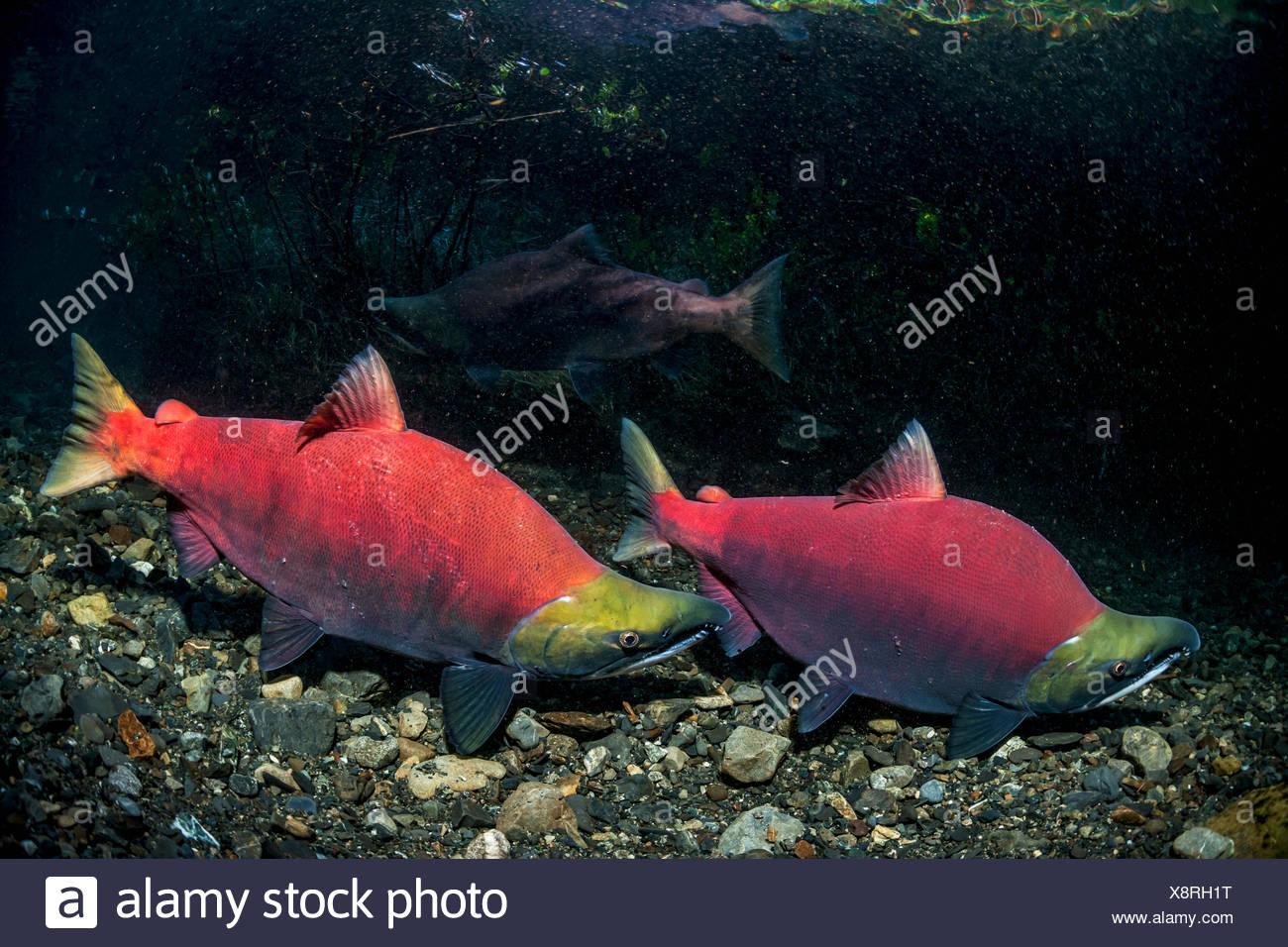 Alpha Sockeye Salmon (Oncorhynchus nerka) male chasing away a rival in an Alaskan stream during early summer. - Stock Image