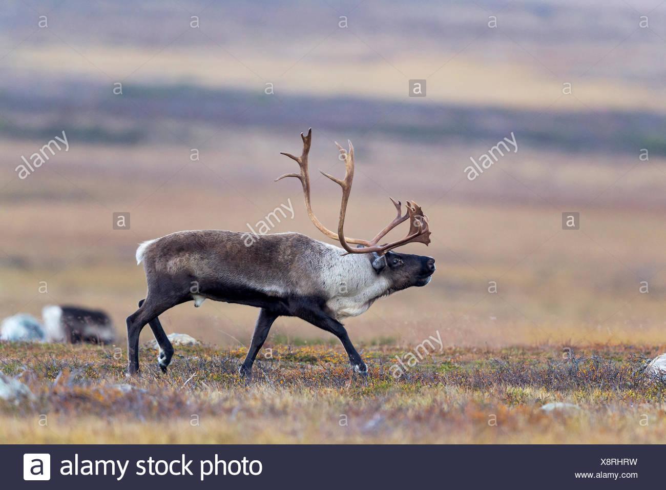 Reindeer (Rangifer tarandus),  Male in the rut - Stock Image