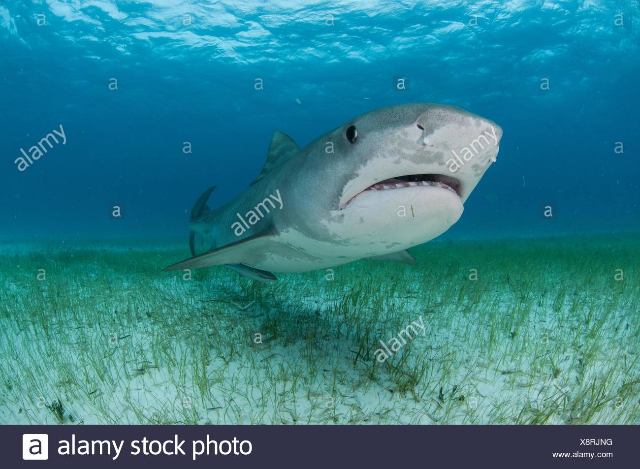Low angle underwater view of tiger shark swimming near seagrass covered seabed, Tiger Beach, Bahamas - Stock Image
