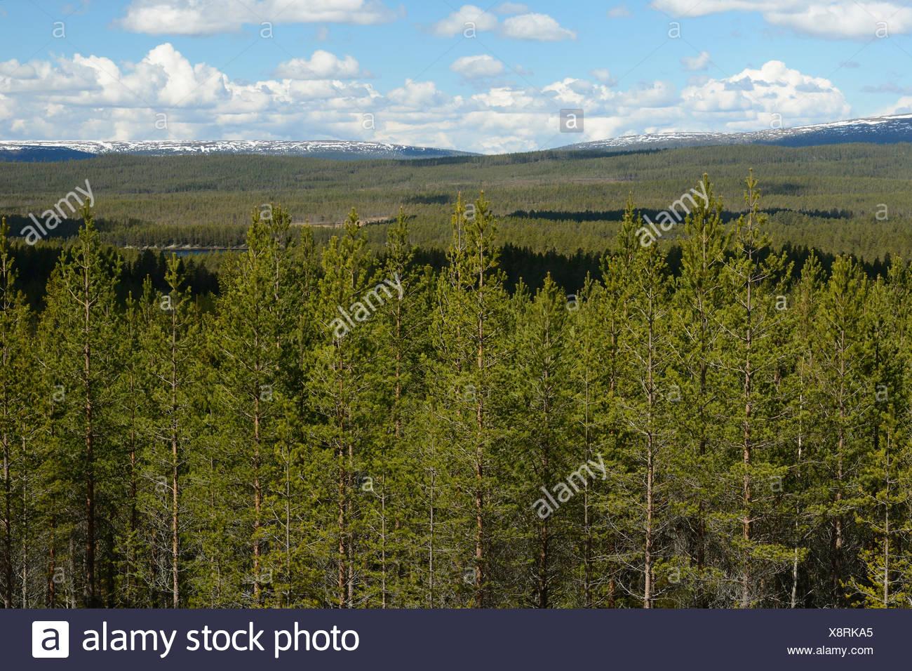 Forests, Transtrandfjällen, snow, Löten, Dalarna, Sweden - Stock Image