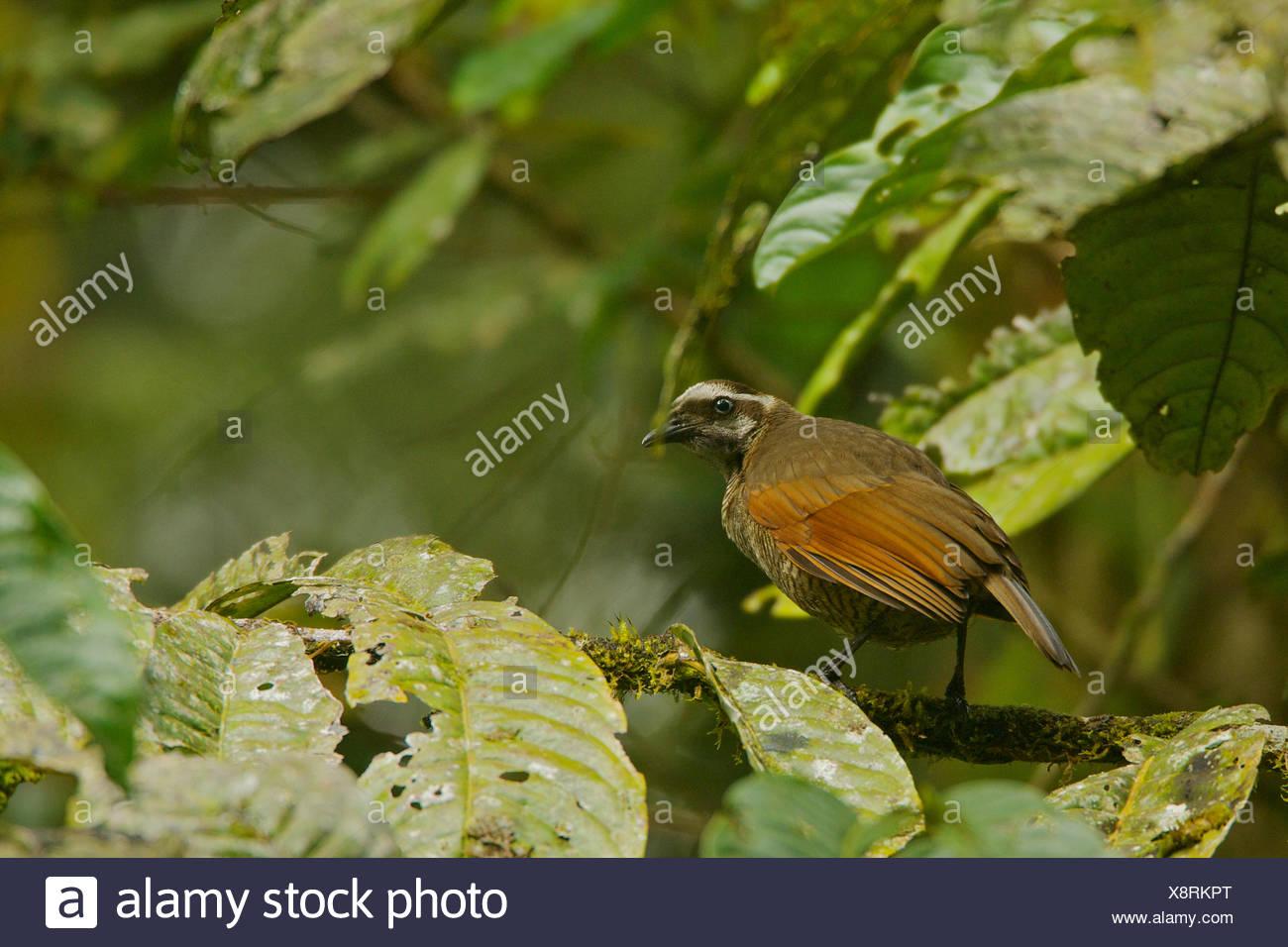 A female bronze parotia bird of paradise in the Foja Mountains. - Stock Image