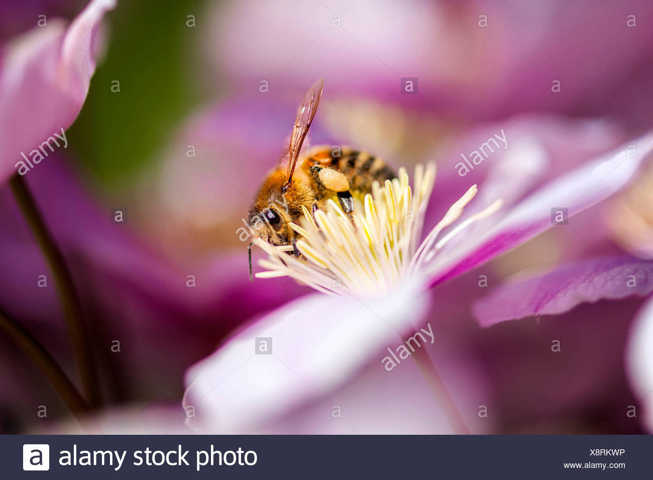 Bee sucking nectar from a flower Stock Photo