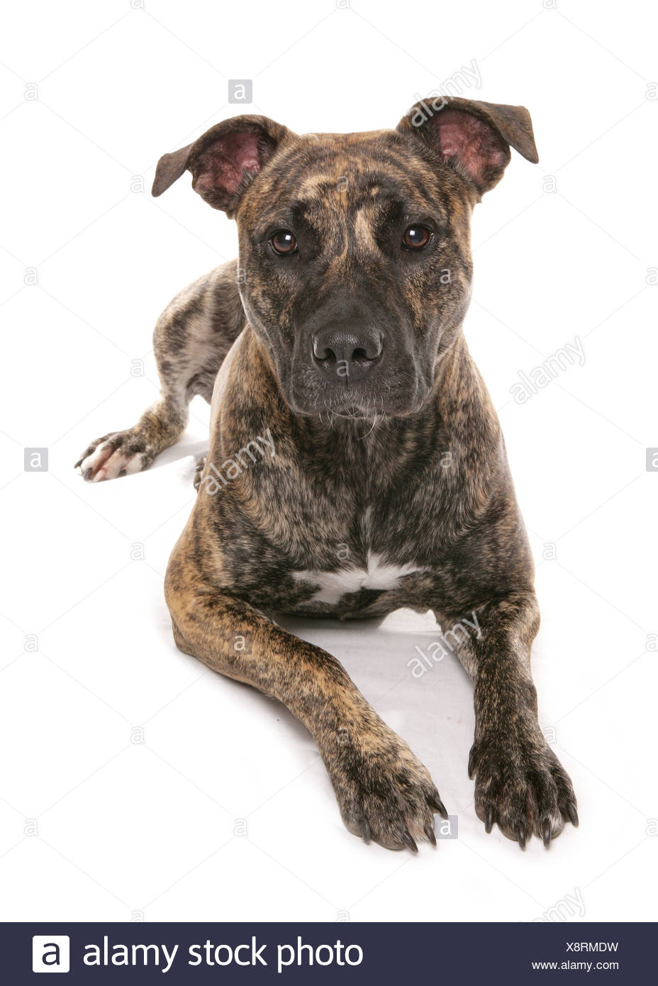 half breed dog (Staffordshire Bull Terrier) - lying - cut out - Stock Image