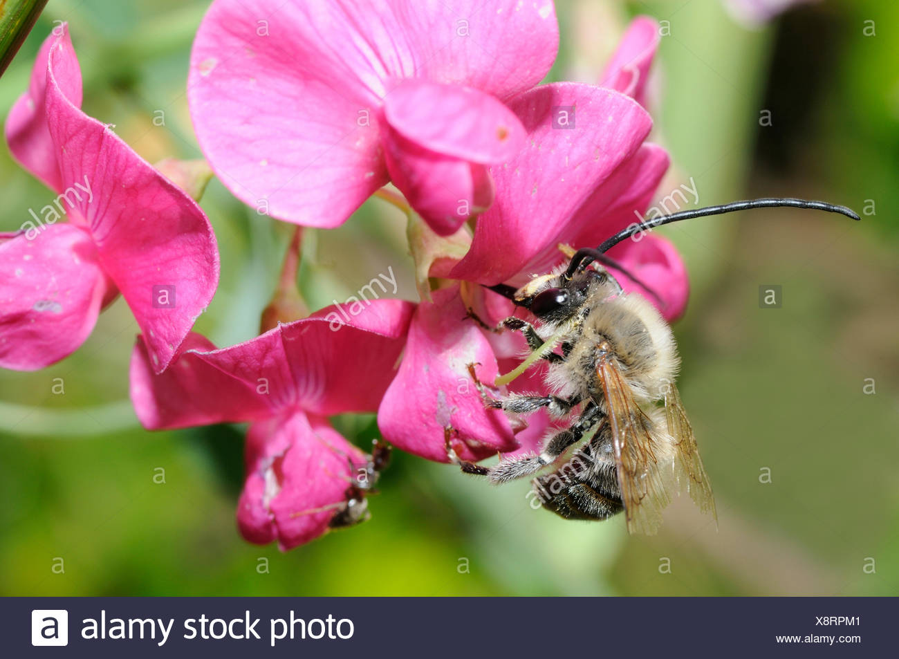Long-horned Bumble Bee on Sweet Pea - Northern Vosges France - Stock Image