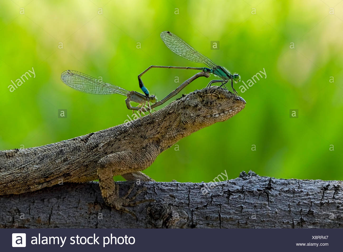 Two mating damselflies sitting on the head of a lizard - Stock Image