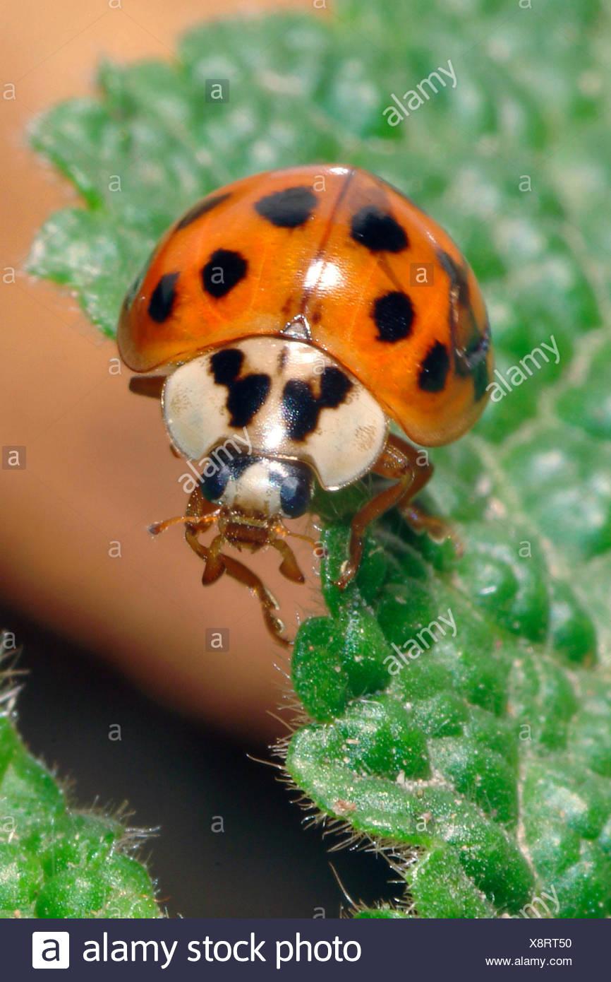 multicoloured Asian beetle (Harmonia axyridis), on a leaf, Germany - Stock Image