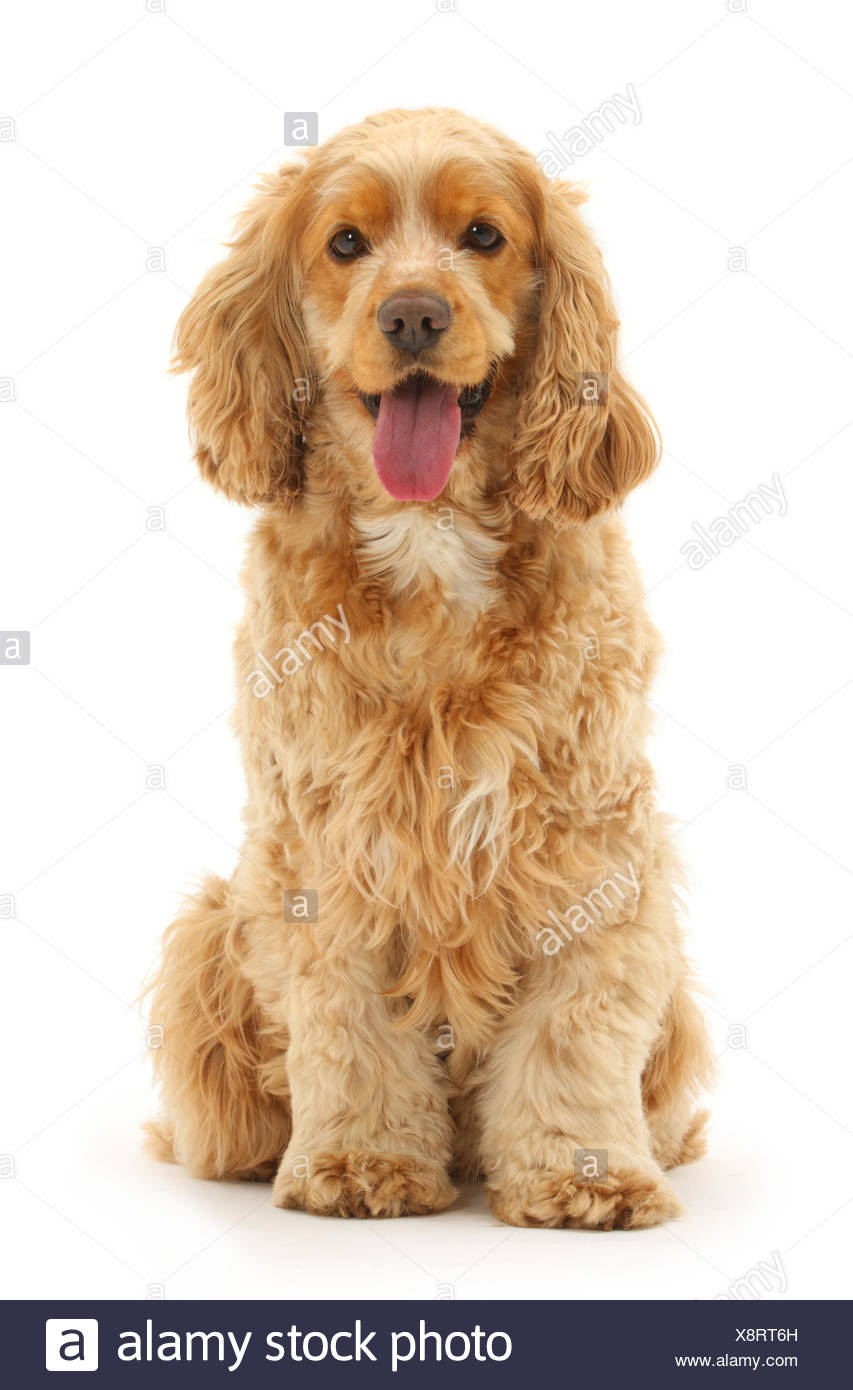 Golden Cocker spaniel dog, Henry, age 3 years, sitting and panting. - Stock Image